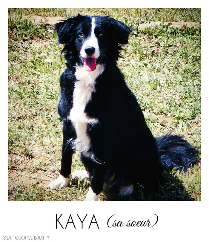 Kaya border collie