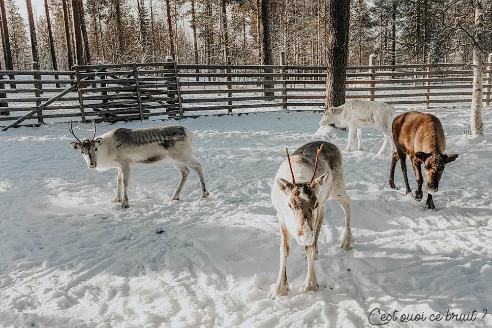 Mon voyage en Laponie : promenade en traîneau de rennes